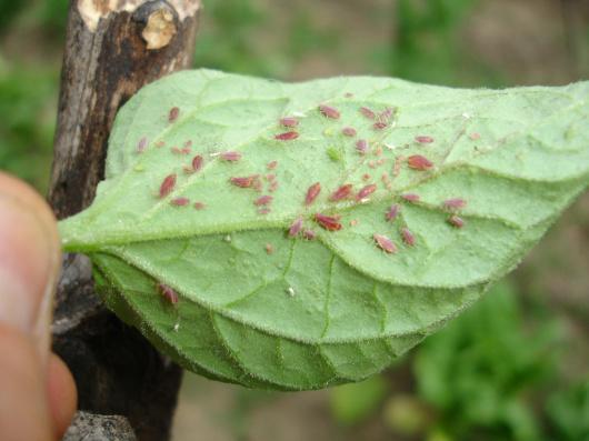 Plagas en las plantas